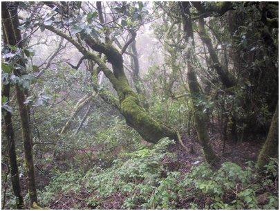 Madeira - laakeripuu